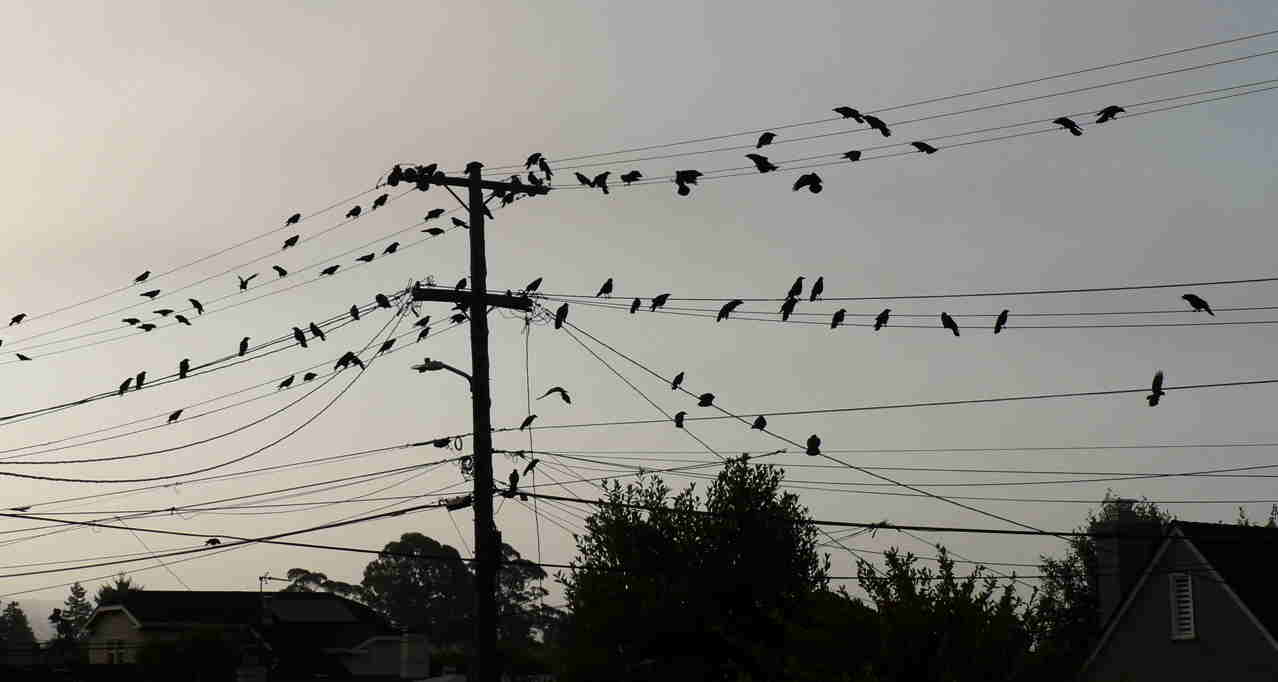 crows on wire.jpg